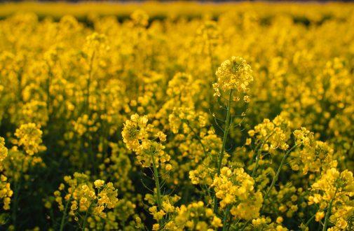 Ce que vous ne savez pas sur la moutarde