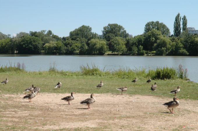 Canards au lac Kir de Dijon