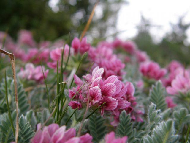 Anthyllis_montana©FL_RNCLJR_mq