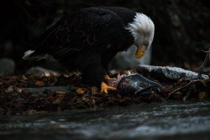 Exposition de photos « Et le loup continue de courir dans les forêts d'Alaska » – par Antonin Charbouillot - 1