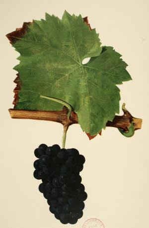 illustration-paroles-vigneronnes-1-1561366330